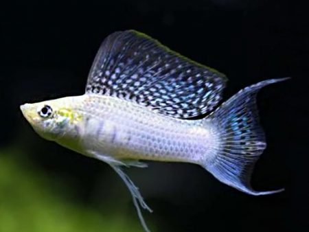 Silver Lyretail Sailfin Molly