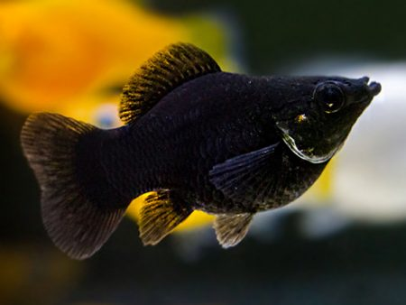 Black Sailfin Balloon Molly