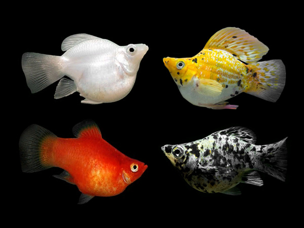 Assorted Sailfin Balloon Mollies