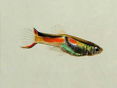 Black Bar Dwarf Guppy