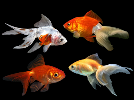 Assorted Fantail Goldfish