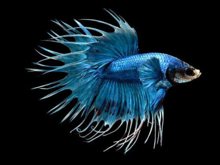 Blue Crowntail Betta (Male)