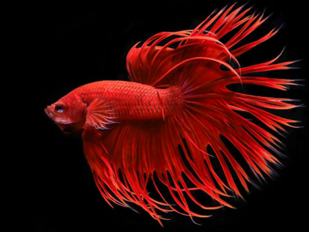 Red Crowntail Betta (Male)