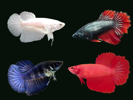 Assorted Halfmoon Betta (Females)
