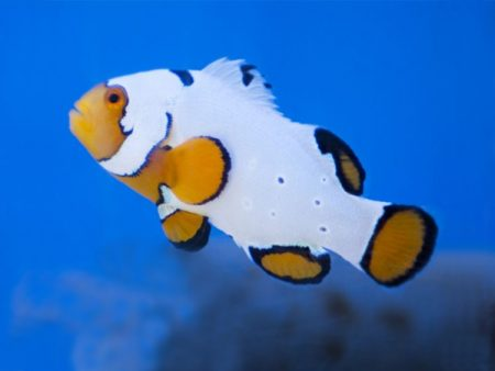 Amphiprion ocellaris «Extreme Snow Onyx»