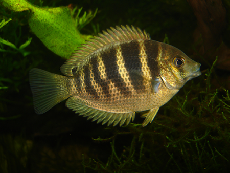 Asian Cichlids