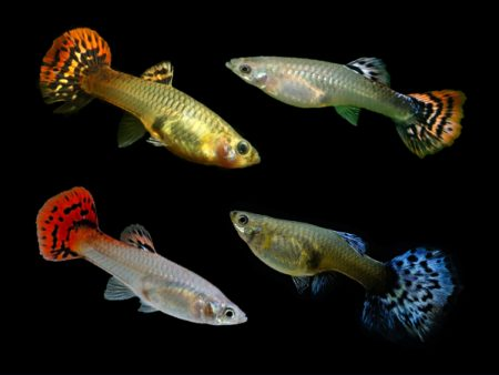 Assorted Cobra Guppy Females