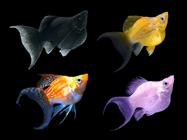 Assorted Lyretail Sailfin Balloon Mollies