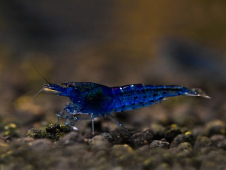 Aura Blue Tiger Shrimp