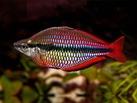 Melanotaenia australis «Super Red»
