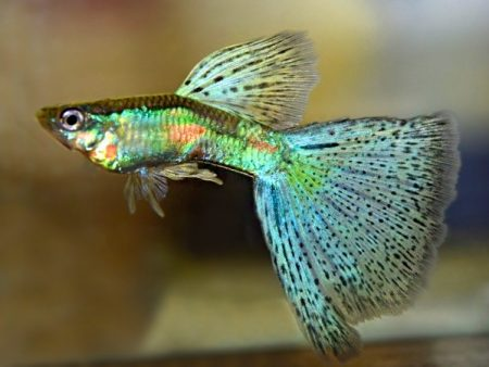 Emerald Blue Red Grass Guppy