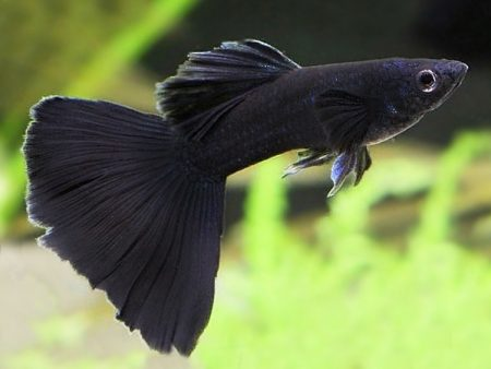 Full Black Guppy