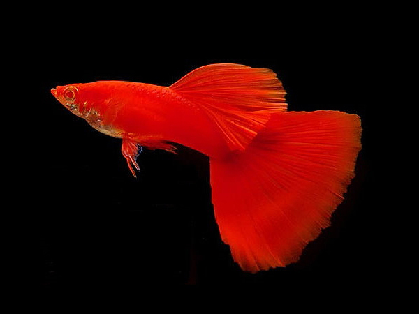 Full Red Albino Guppy