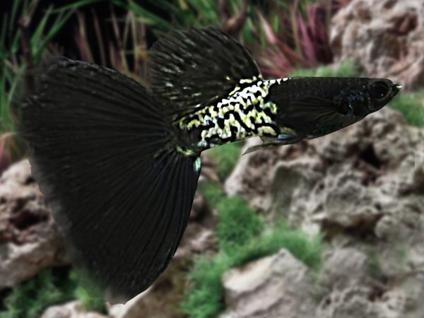 Metal Black Lace Guppy