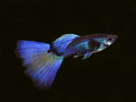 Phantom Blue Guppy