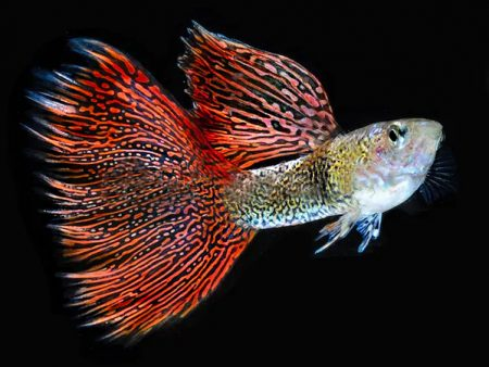 Red LaceGuppy