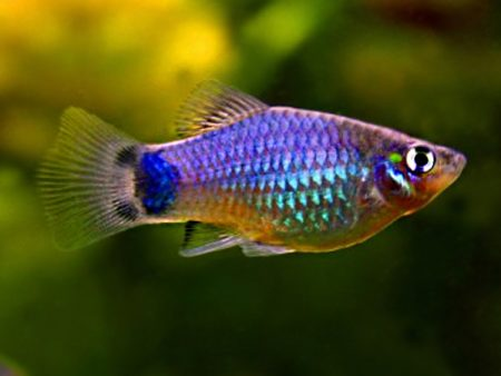 Emerald Mickey Mouse Platy