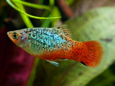 Blue Red Calico Platy