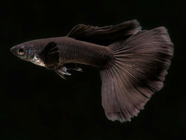 Black Guppy Males