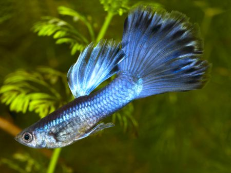 Blue Moscow Guppy Males