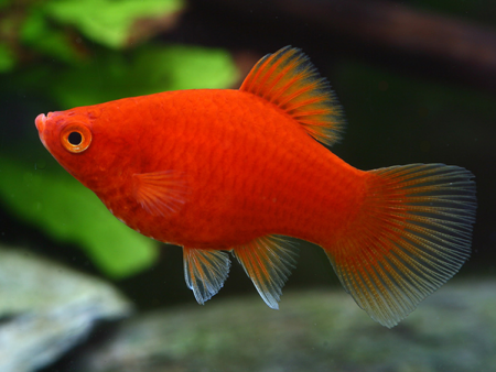 Coral Red Platy