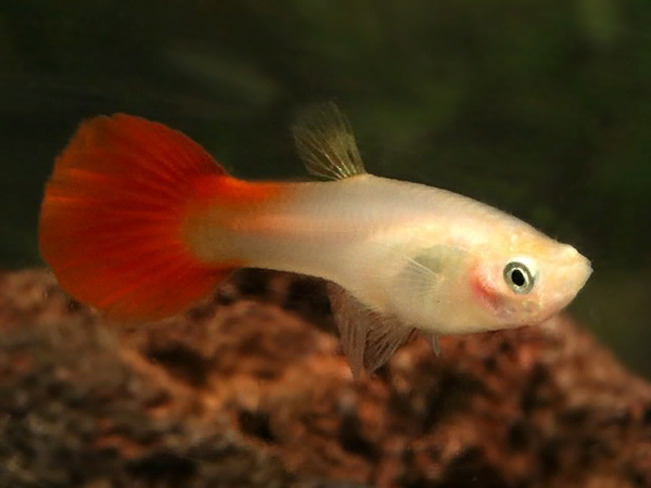 Coral Tail Guppy Females