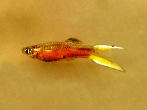 Santa Maria Bleeding Heart Yellow Double Sword Dwarf Guppy