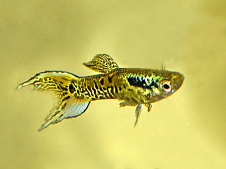 Selected Yellow Tiger Lyre Tail Dwarf Guppy