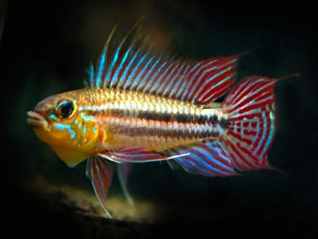 Apistogramma gephyra «Red Tail»