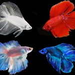 Assorted Doubletail Betta (Males)