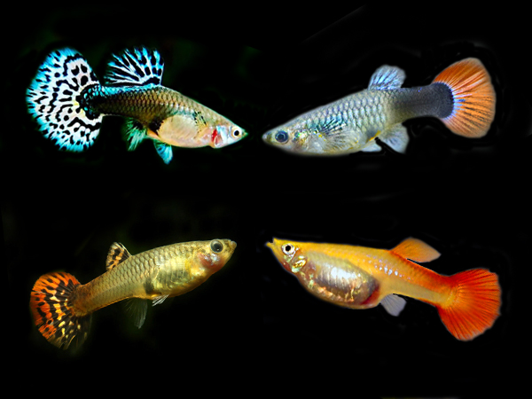 Assorted Supercolor Guppy Females