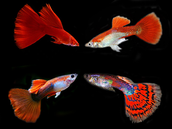 Assorted Red guppy males