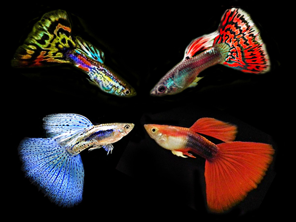 Assorted Triangle guppy males