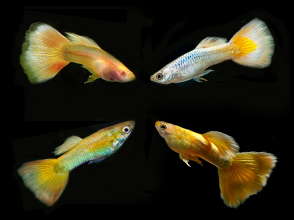 Assorted Yellow guppy males