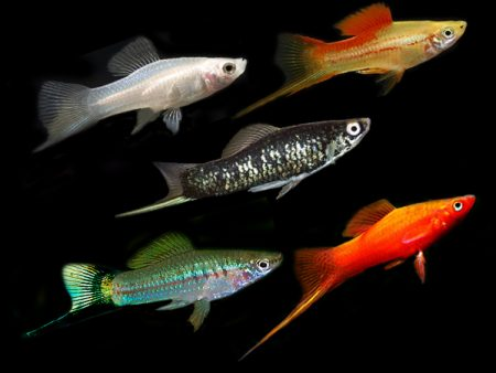 Assorted Colours Swordtails