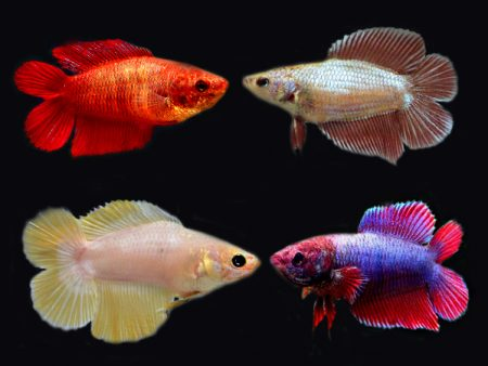 Assorted Doubletail Betta (Females)