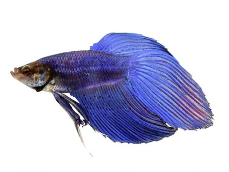 Blue Veiltail Betta (Males)