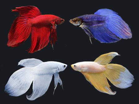 Assorted Veiltail Betta (Males)