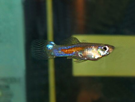 Singapore Variable Dwarf Guppy
