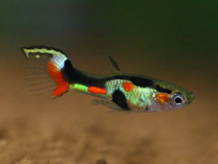 Top Green Sword Dwarf Guppy