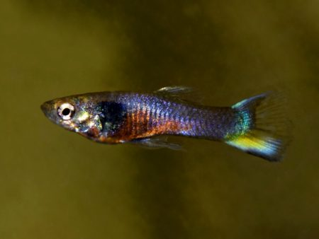 Violet Purple Dwarf Guppy