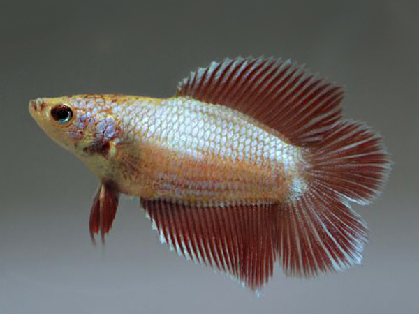 Double Tail Betta (Female)