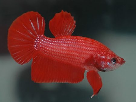 Super Delta Tail Betta (Female)