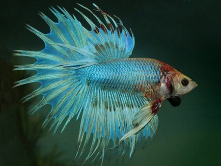 Green Crowntail Betta (Male)