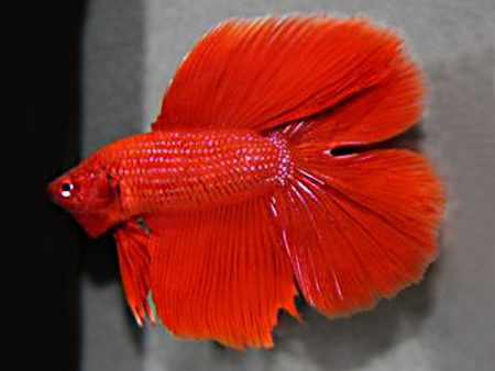 Red Double Tail Betta (Male)