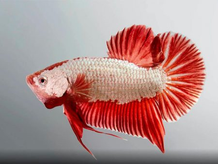 Giant Betta (Male)