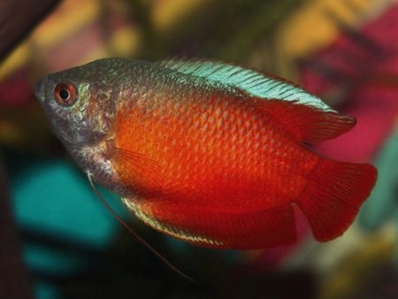 Trichogaster lalius «Blood Red»