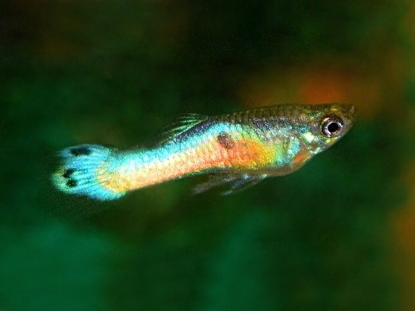 Japan Blue Sunrise Dwarf Guppy