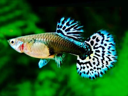 Mosaic guppy females
