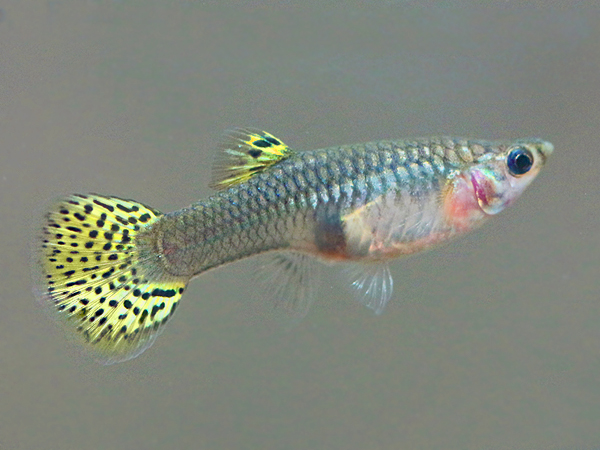 Golden Cobra guppy females
